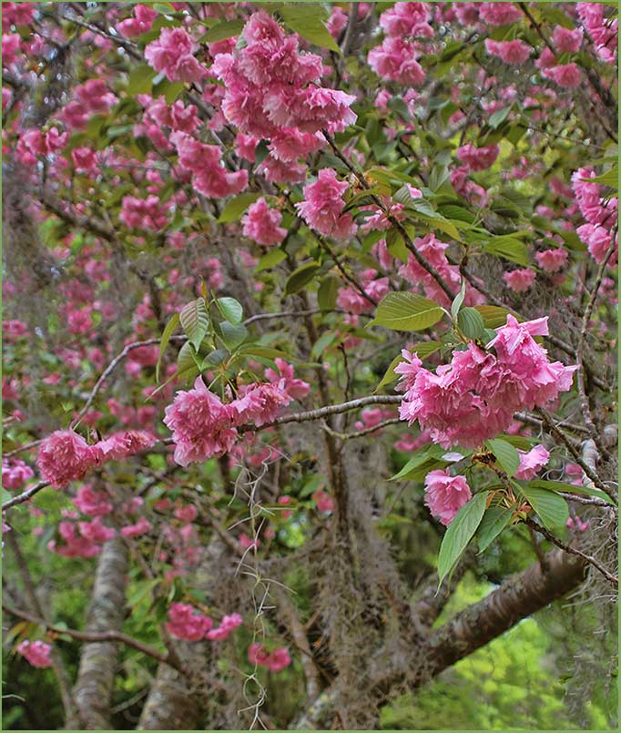 Showy Crabapple tree Brookgreen Gardens