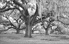 Giant Moss Covered Oaks, Oak Alle, Brookgreen Gardens