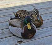 Pair of Mallard Ducks at Broadway at the Beach