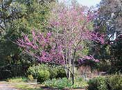 Red Bud Tree in Bloom