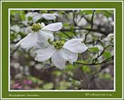 Brookgreen Gardens Dogwood