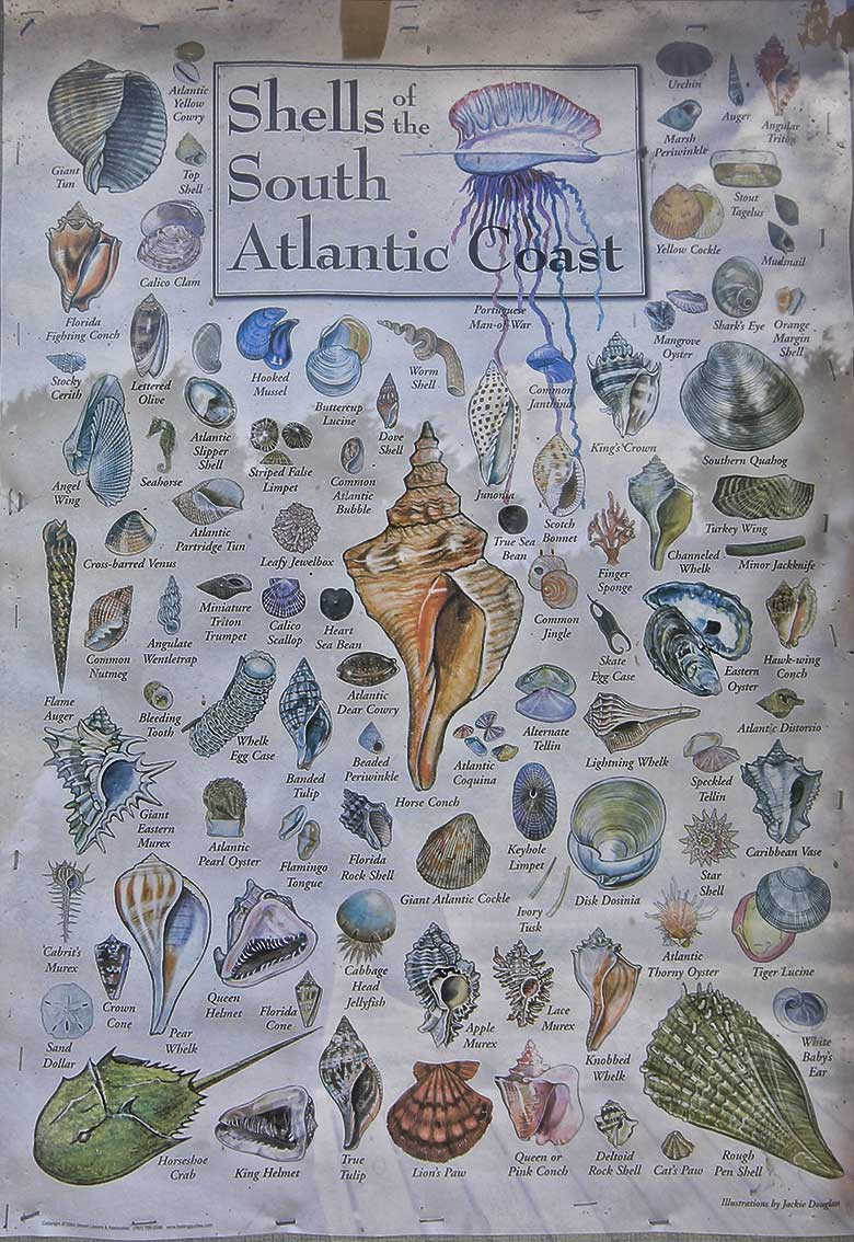 shells of the atlantic coast